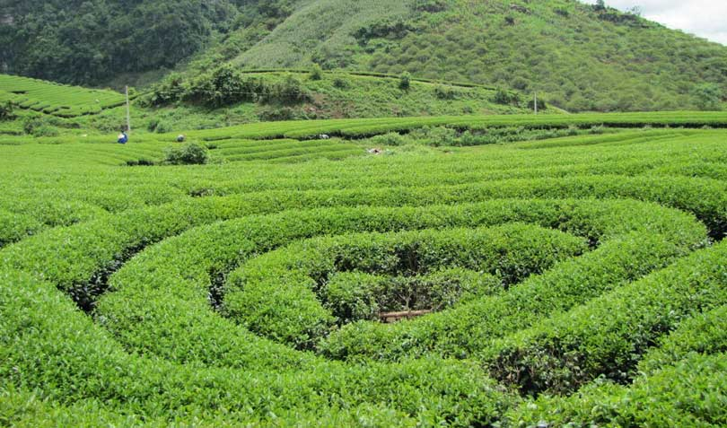 Tea heart of Moc Chau